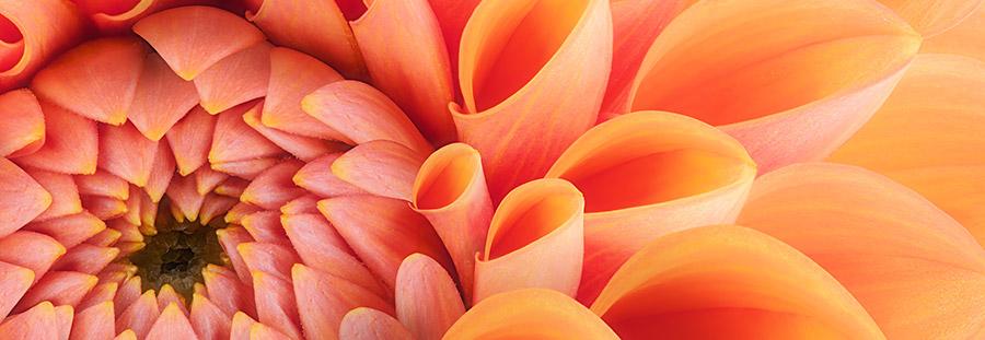 Makroaufnahme Dahlie, rot, orange